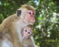Sri Lanka - Nursing Monkey