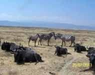 Tanzania - Wildebeasts and Zebras